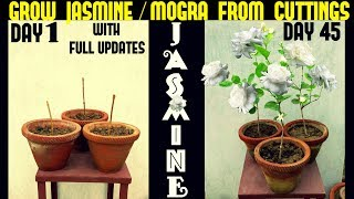 How To Grow Jasmine/Mogra From Cuttings (With Full Updates)