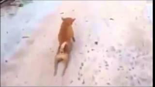 Неадекватная собака писюном чесака!(Самые смешные видео 2015 года. Самые ржачные приколы. Подписывайтесь на наш канал и продлевайте свою жизнь..., 2015-03-16T19:43:58.000Z)