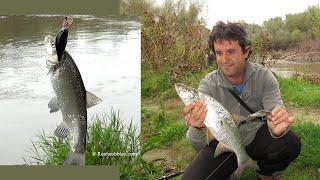 Asp Fishing on Crankbait in October/ рибалка жерех воблер з/ на Real Racer