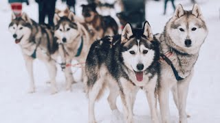 Снежные псы в сказочной Карелии