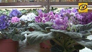 Цветовод-любитель из Могилёва собрала коллекцию фиалок из 700 сортов