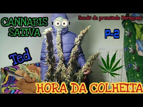HORA DA COLHEITA DE CANNABIS SATIVA ( MACONHA ), CULTIVO INDOOR, SEMENTES DE PRENSADO PARAGUAI