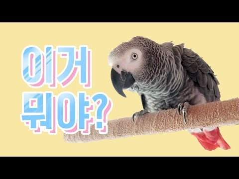 연구대상똘이앵무새gray parrot 말많은똘이때문에 편집하기어려워요