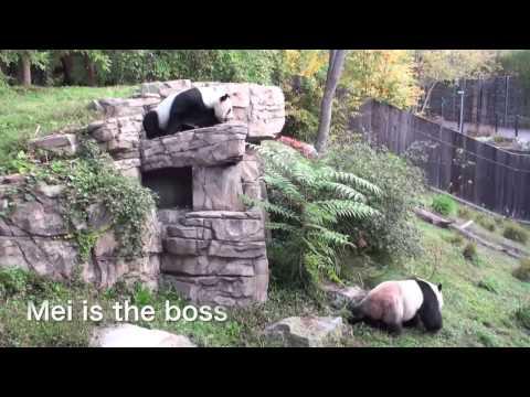 Panda couple, Mei Xiang and Tian Tian at the Smithsonian's National Zoo