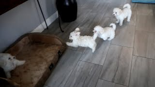 Bichon Frise Puppies Play Fighting