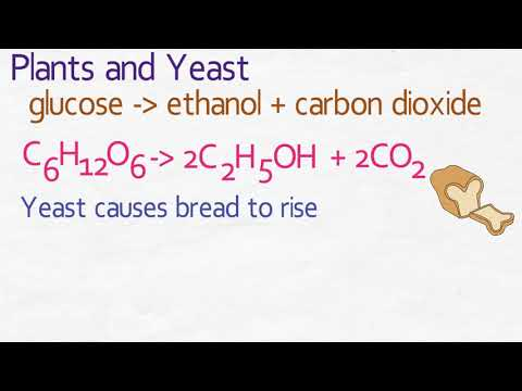 GCSE Biology - Anaerobic Respiration Plants