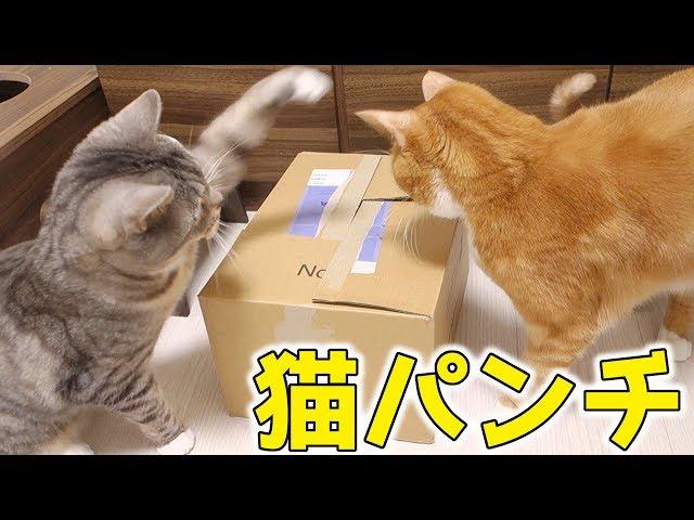 姉猫にやたら猫パンチする猫。姉猫は箱に夢中でそれどころじゃない【猫 おもしろ】