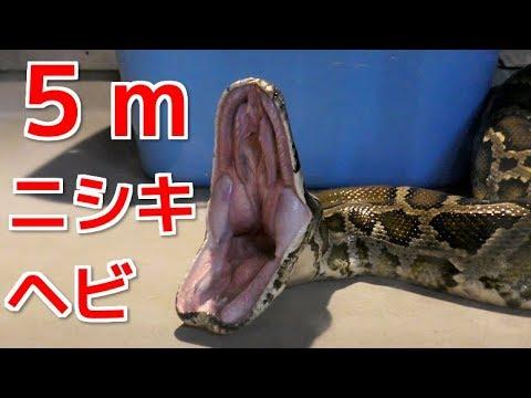5mのニシキヘビの餌やりが衝撃的過ぎた・・・! 17feet Burmesepython eat pig