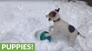 Jack Russell plays with new ball in deep snow
