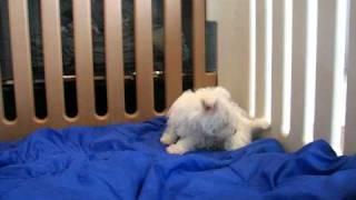 Westie Pups 4sale By Cammie  Female.avi