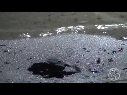 Caretta caretta deposizione delle uova e nascita delle for Deposizione uova tartarughe terrestri