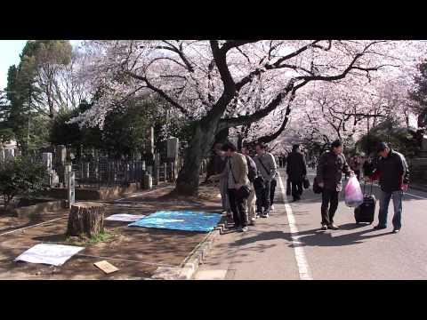 谷中霊園の花見 sakura at Yanaka Cemetery, tokyo