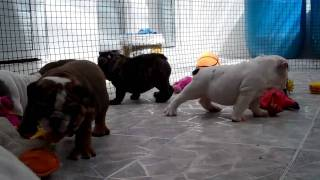 English Bulldog Puppies For Sale In Florida 786-206-9330