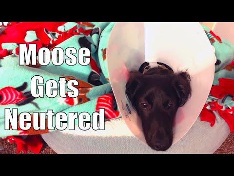 DOG NEUTER: My Dog's Neuter Surgery Experience And Recovery Vlog