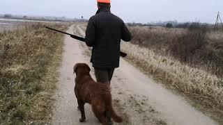 2020.12.12 Chesapeake bay retriever Basti in duck hunting