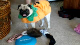 Pittchow And Pug Halloween Costumes