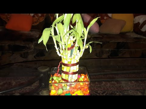 How To Save A Dying Lucky Bamboo Plant 2nd Nov 2017 Youtube,Small Studio Apartments Decor