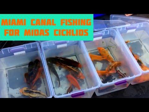DMV to MIA-Miami Canal Fishing for MIDAS CICHLIDS!!!