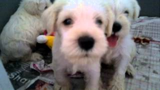 Schnauzer Puppy For Sale - 1 Month, White Schnauzer From C..