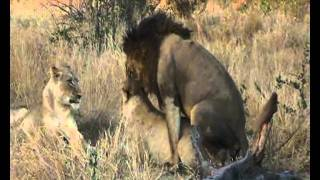 Lions on a kill and mating