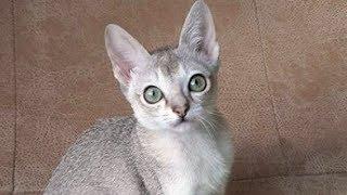 Cute Singapura Cat Following Owner : قط سنغافورة