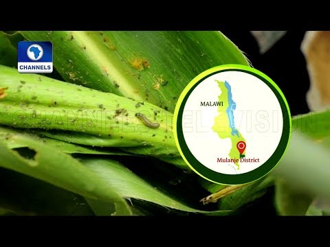 Malawian Farmer Uses Detergent And Salt Solution To Repel Army Worm |Eco@Africa|