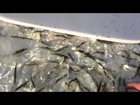 Live Bait How   -Tampa Bay 813-758-3406 Full Time Fishing Guide David Beede