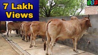Top Quality Sahiwal Cows at A Farmer's Home