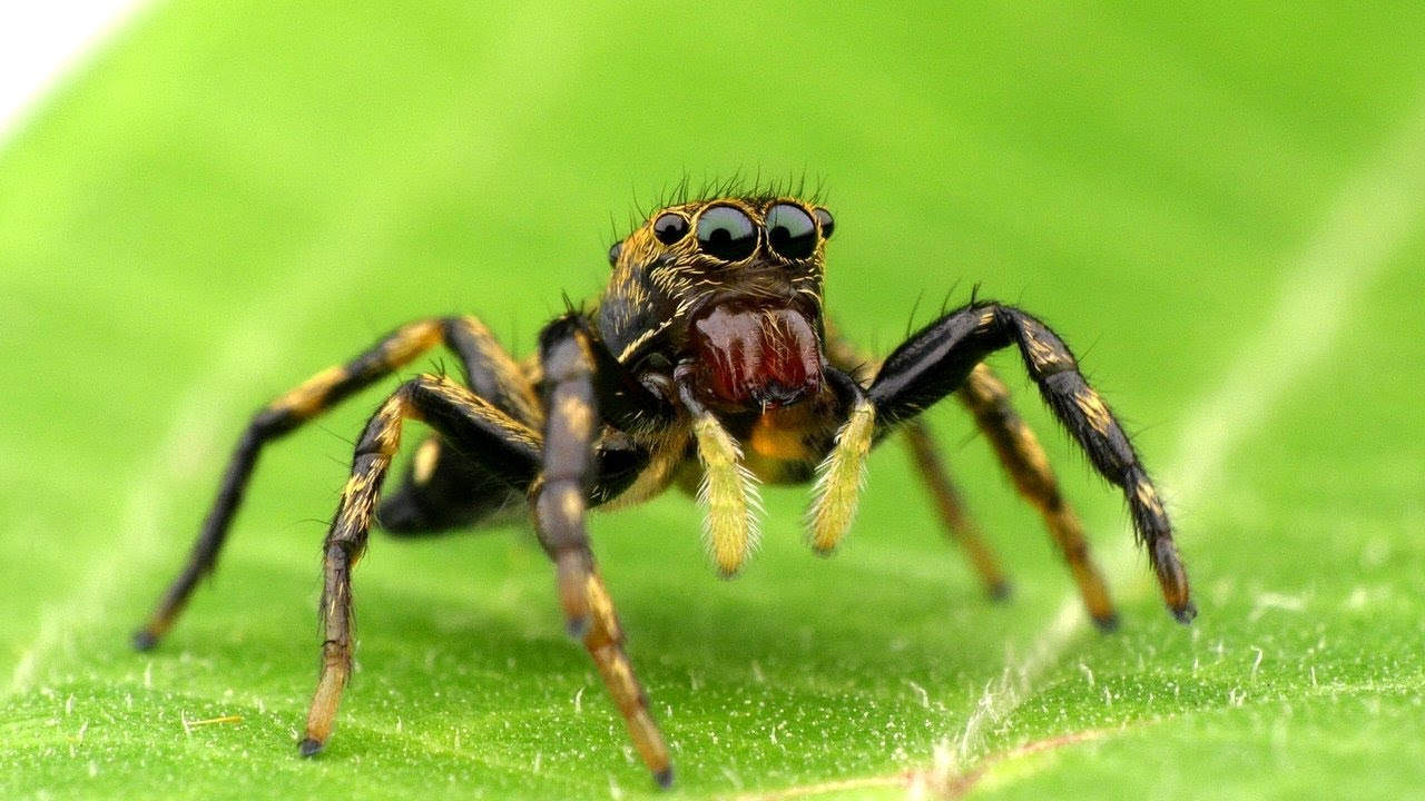 Little Jumping Spider from the Ecuadorian Amazon ... - photo#3