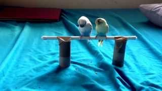 How To Target Train Your Budgie