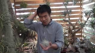 エアプランツ 花芽の上がったテクトラムの紹介・育て方