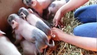Newest litter of piglets