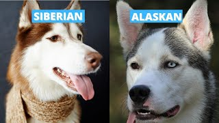 Siberian vs Alaskan Husky  Five Main Differences