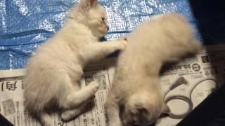 姉妹の子猫、いつも仲良しです.