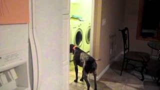 German Shorthaired Pointer Barks At Hot Food