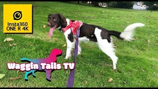 My English Springer Spaniel (14 Month Old) : Hurtta Weekend Warrior Harness Unboxing/Dog Walk TEST