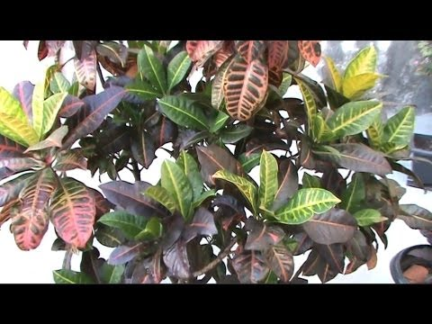 Croton plantas con hojas de colores youtube for Como decorar un jardin con plantas