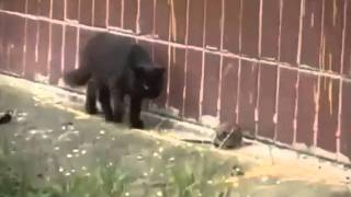Rats Scares Bunch of Cats
