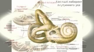 """Презентация-Реферат """"Строение и функции органа слуха"""""""