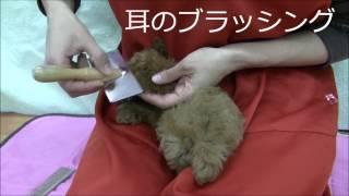 トリマーがトイプードルの子犬を使って、ブラックシングと耳掃除のお手...