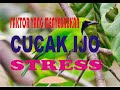 Faktor Menyebabkan Cucak Ijo Stress  Mp3 - Mp4 Download