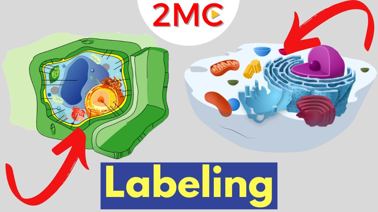 medium resolution of cell anatomy labeling animal and plant cells