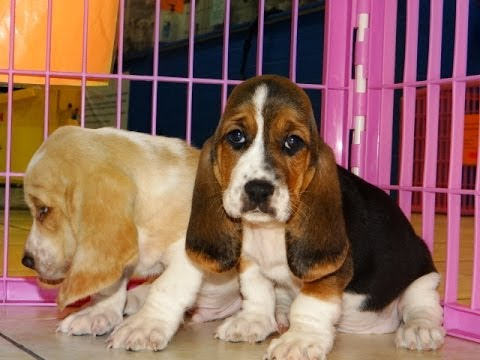 Basset Hound Puppies Dogs For Sale In Charlotte North Carolina