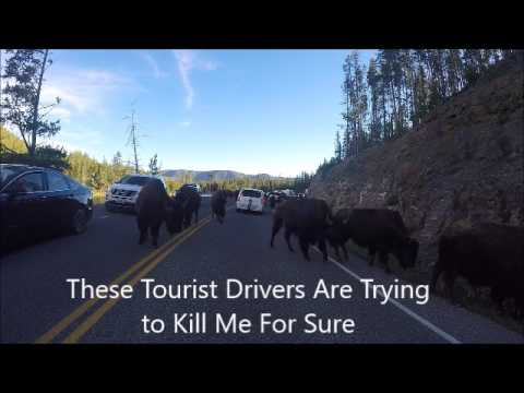 2017 Bison at Yellowstone 06 19 2017 Mountain Mule
