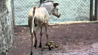7/6に「多摩動物公園」でシマウマの赤ちゃんが生まれたです。 彼は、マ...