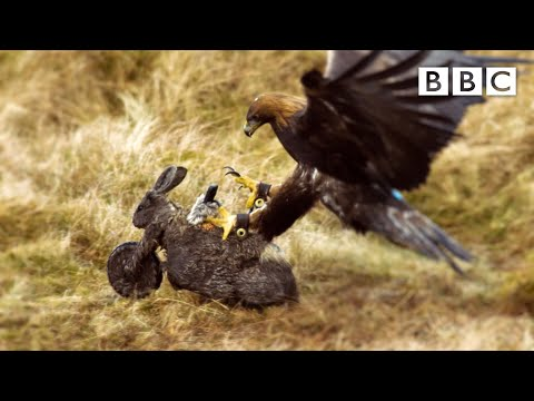 We used a Robot-Bunny-Bike to analyse an Eagle's ATTACK!   Natural World - BBC