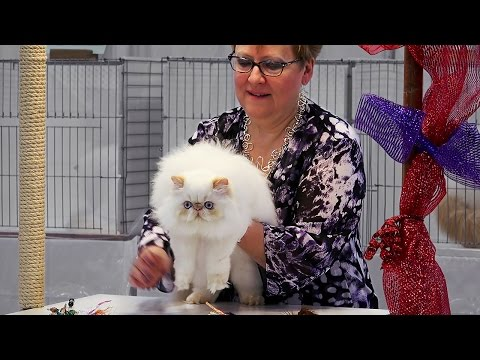 CFA International 2016 - Purple Show Persian kitten Himalayan class