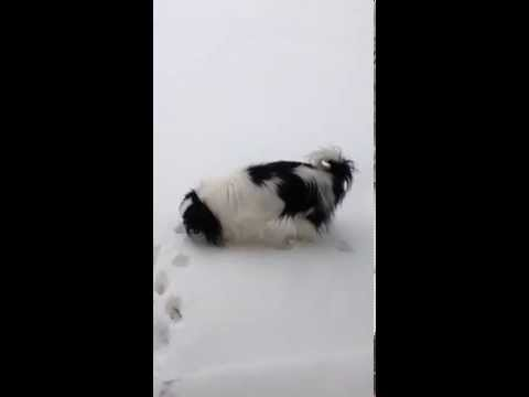 Japanese Chin's Big Sneeze Into the Snow!