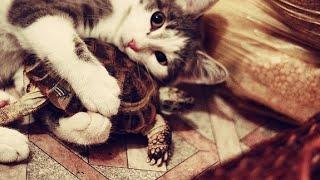 Коты VS Черепахи! Веселая Подборка! | Cats and Turtles.