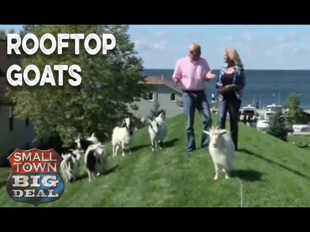 Rooftop Goats